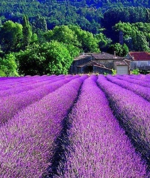 South France - Lavender fields
