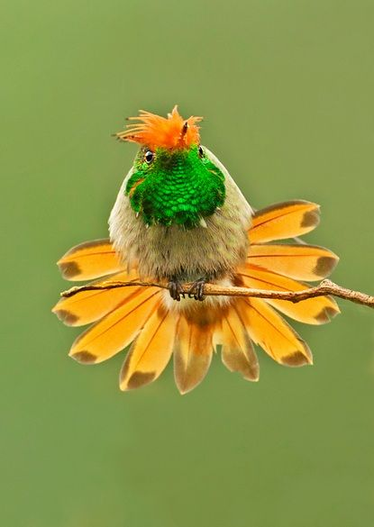 Rufous-crested Coquette, a species of hummingbird. It is found in Bolivia, Columbia, Ecuador, Panama, and Peru