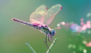Pink Dragonfly: Pretty Dragonfly, Wings Dragonfly, Color, Beautiful, Dragonfly Festivals, Pink, Dragon Flying, Dragonfly Butterflies Moth, Animal