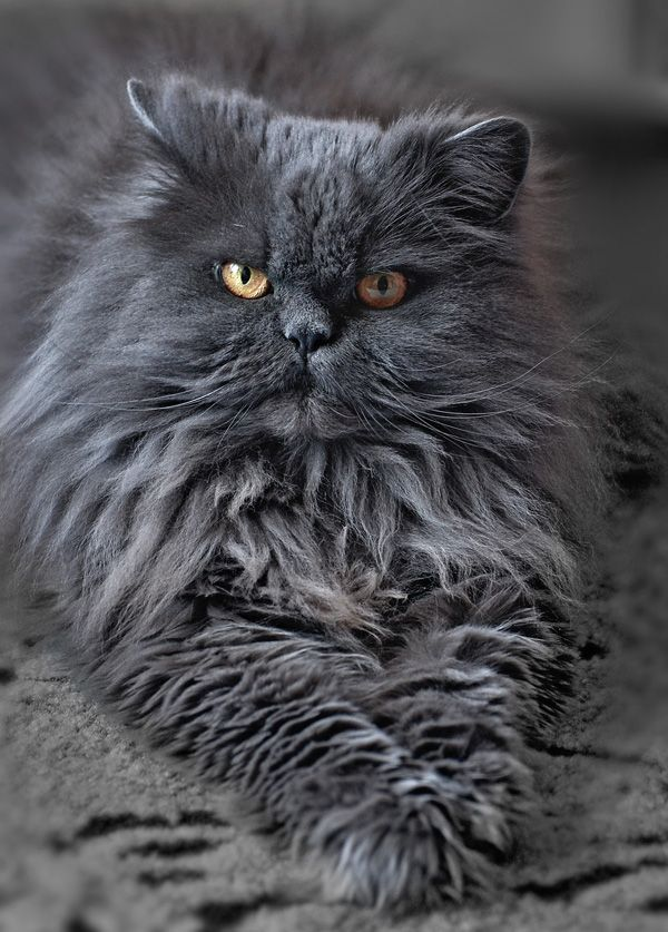 Pin De Florence Mccord Em Cats Katzen Gatos Selvagens Gatos Guerreiros Gatos
