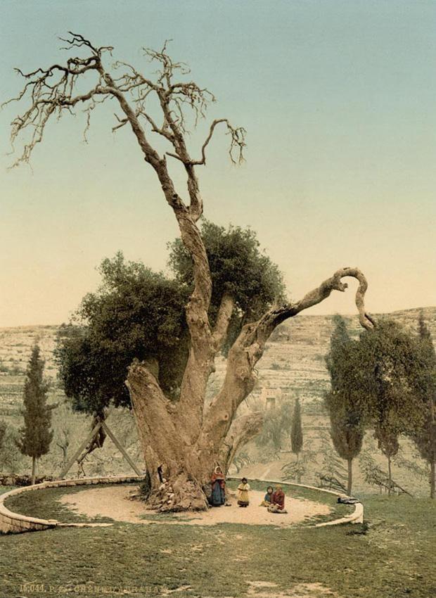 Картинки по запросу мамврийский дуб