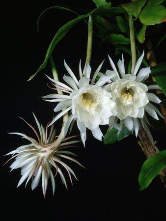 11 best Hoa Quỳnh - Epiphyllum images on Pinterest | Daisy, Flower ...