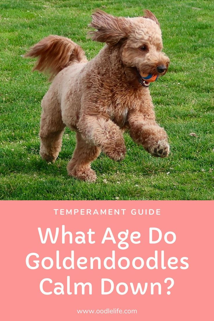 What Age Do Goldendoodles Calm Down? Oodle Dogs in 2020