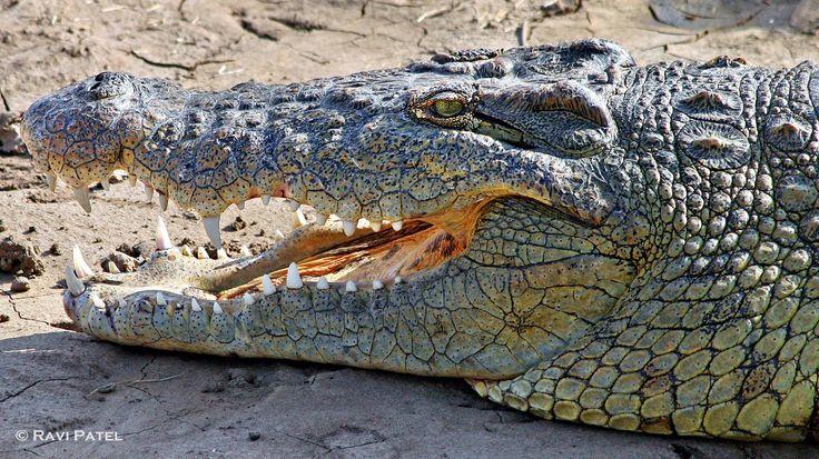 Nile Crocodile Close Up