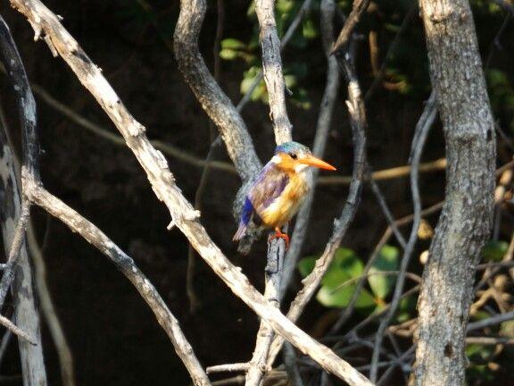Kingfishers, Okavango Delta, Botswana