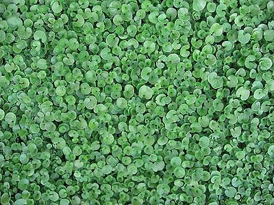 Dichondra Repens Excellent Ground Cover