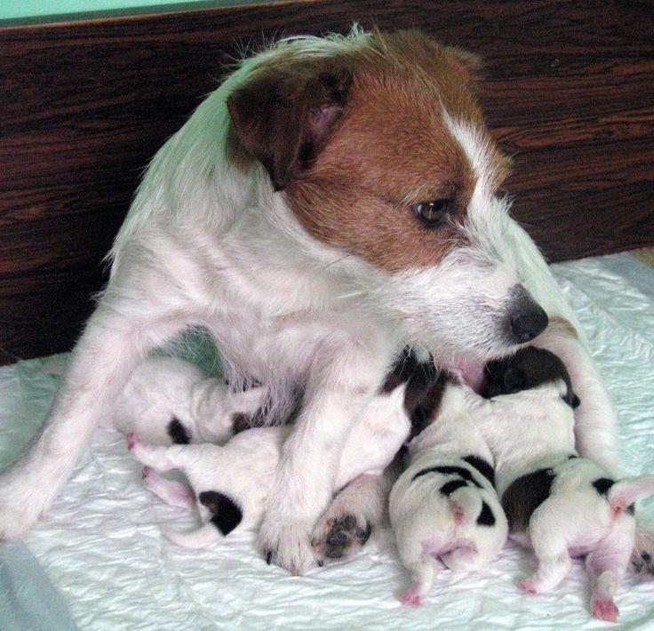 Para mis queridos Fox Terrier epd ELIANNE y KAKO hijos caninos jordi Ruzafa con dolor y amor.
