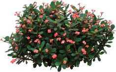 When used as a houseplant, Crown of Thorns flowers all year and thrives on neglect. www.houseplant411