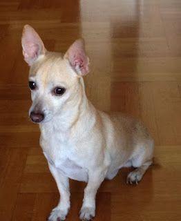 Αρσενικό σκυλάκι που μοιάζει με τσιουάουα, 4-5 ετών περίπου και 4 κιλών, βρεθηκε να περιφέρεται τρομαγμένο στο Πεδίον του Άρεως.