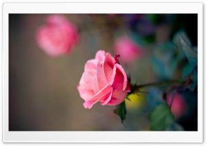 Rose HD Wide Wallpaper for Widescreen