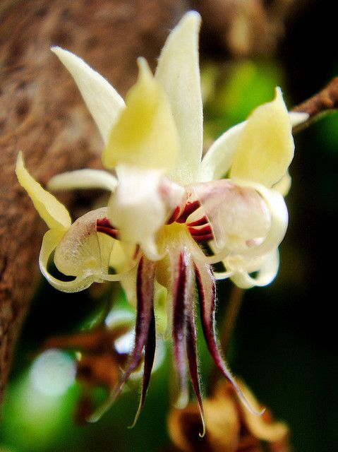 The cacao flower. Theobroma cacao by Brenna Green, lemurdillo on flickr