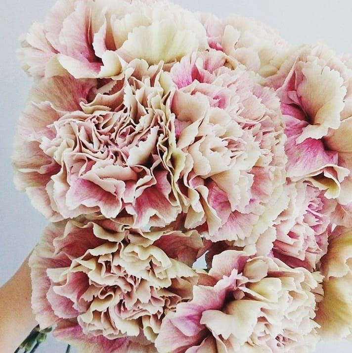 Blush Carnations Beautiful Soft And Pretty Colour Palette Blush Pink The Floral Delivery Wellington N Florist Flower Delivery Fresh Flower Bouquets Flowers