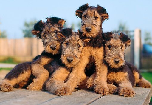 PUP 14 CB0006 01 © Kimball Stock Four Airedale Terrier Puppies Sitting On Wooden Table
