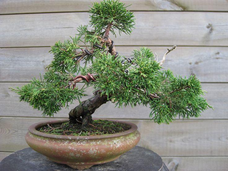 8 - Juniperus (01/2016)