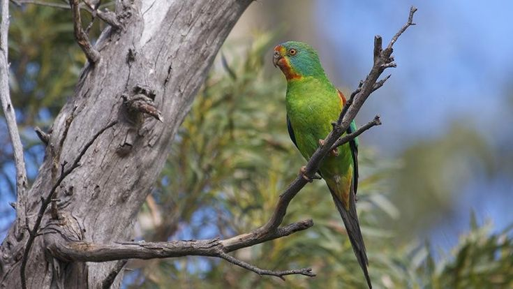 ANU receives $1 million to help save swift parrots  Fenner School, ANU
