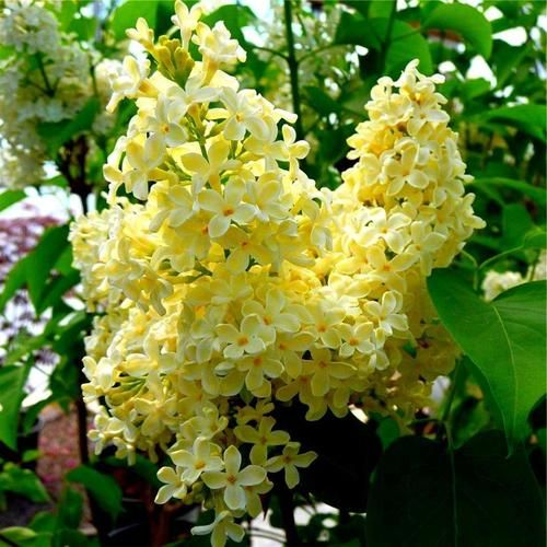~Yellow lilacs~ Gotta have one! Just got mine up at Springhill Nurseries in Ohio....called primrose.