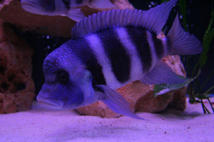 frontosa mpimbwe blue by alpayaktan.deviantart.com