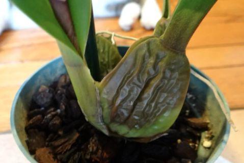 Regar orquídeas: síntomas de falta o exceso de agua