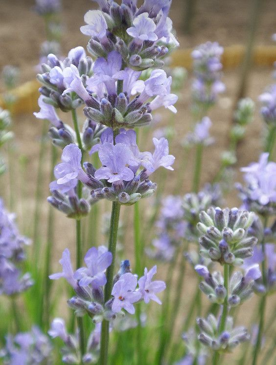 Lavender- Munstead