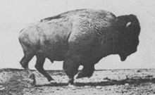 American bison galloping, photos by Eadweard Muybridge, first published in 1887 in Animal Locomotion