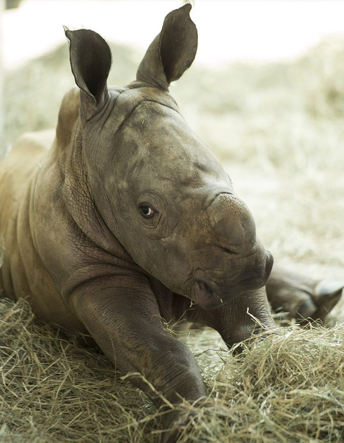Special Edition Wildlife Friday: Vote to Name a New Baby Rhino Girl at Disney's Animal Kingdom!