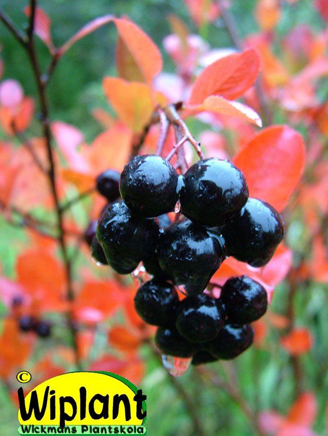 Aronia 'Viking', bäraronia. Vackra röda blad på våren, vita blommor och stora svarta C-vitaminrika bär. Bra för sylt och vin m.m. 2-4 m.