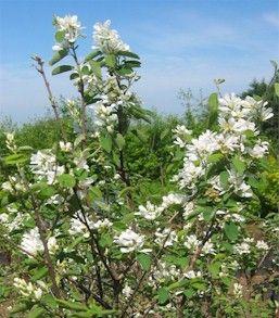 Amelanchier alnifolia (Serviceberry, Saskatoon Berry)