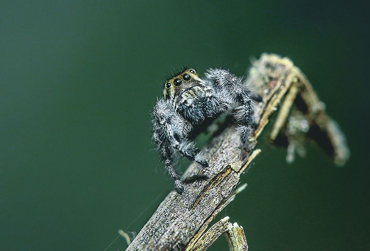 A jumping spider [OC] [1000x675]