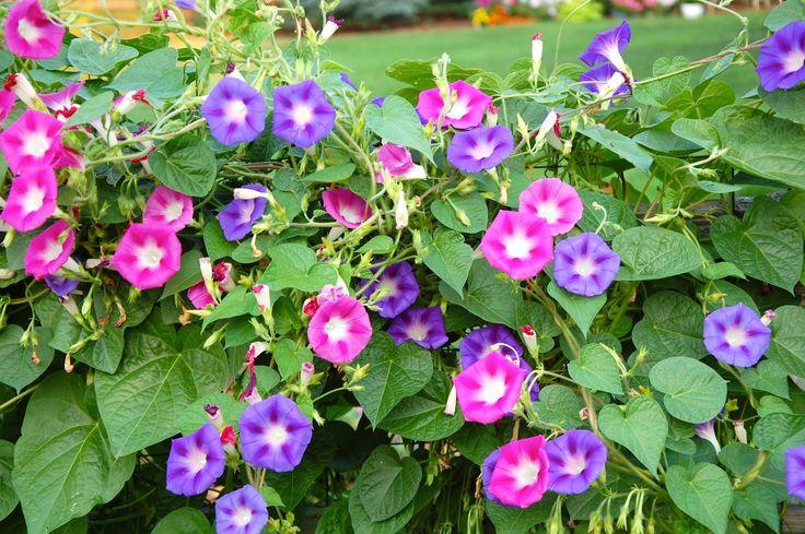 Ипомея: посадка и уход, фото сортов квамоклит, махровой, пурпурной
