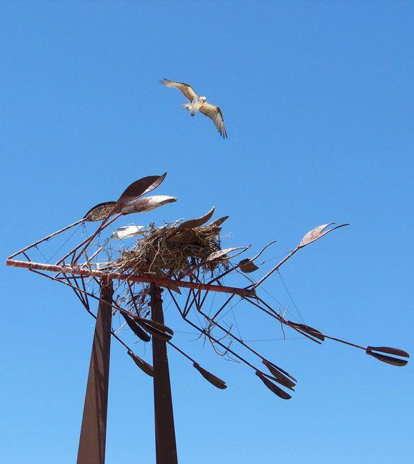 osprey-over-nest-mindarie