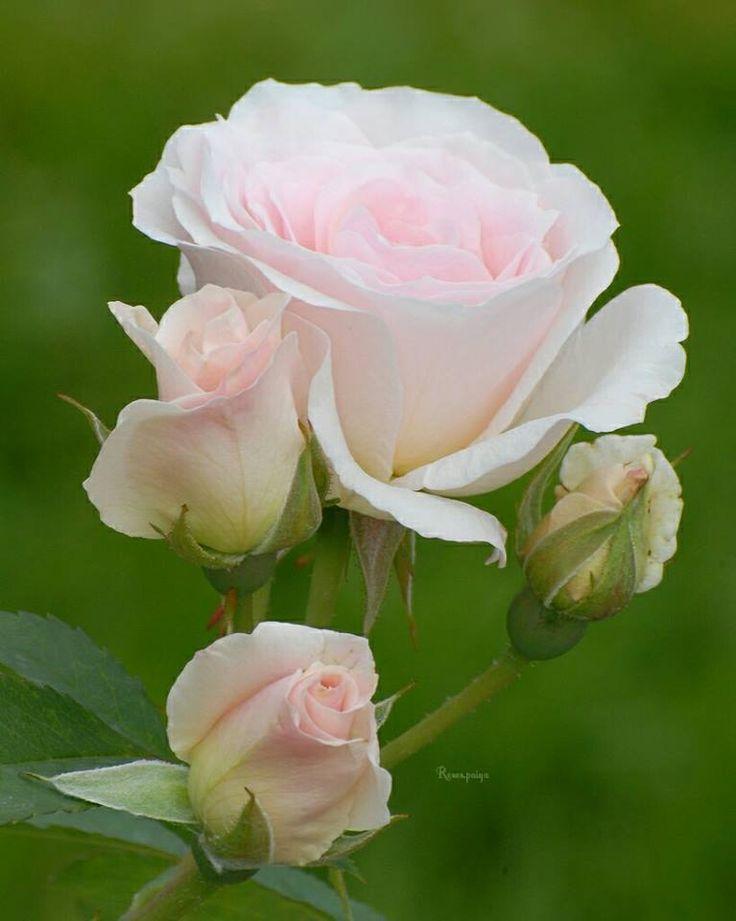 https://www.facebook.com/Roses.paiya/photos/pcb.1161877480609616/1161877330609631/?type=3&theater