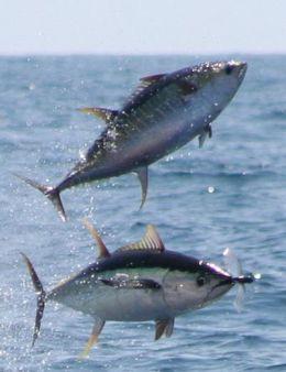 Yellowfin Tuna Fishing - Tuna Yellowfin or Ahi Videos and Pictures