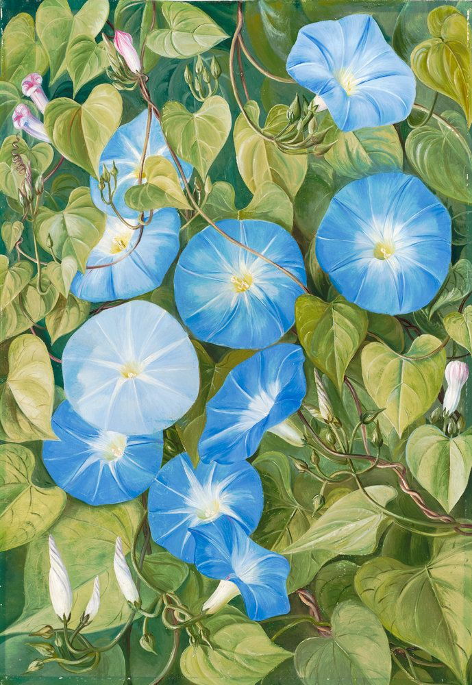 Morning Glory, Natal Botanical Print By Marianne North. Knew Gardens