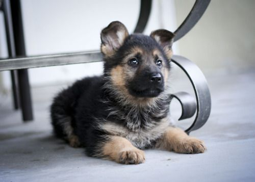 1000 Ideas About Baby German Shepherds On Pinterest border=