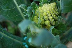 cómo cultivar brócoli en huertos urbanos