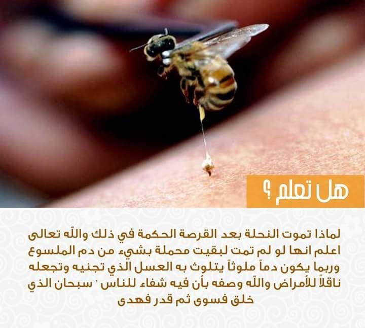 هل تعلم معلومات معلومة معلوماتك نحلة قرصة حكة سبحان الله عسل Bee Stud Earrings Ugs