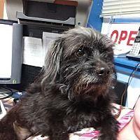 Lagrange, Indiana - Jack Russell Terrier. Meet Baby Girl, a for adoption. https://www.adoptapet.com/pet/21010312-lagrange-indiana-jack-russell-terrier-mix