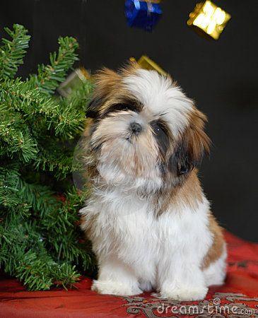 Shih tzu puppy sitting beside christmas tree