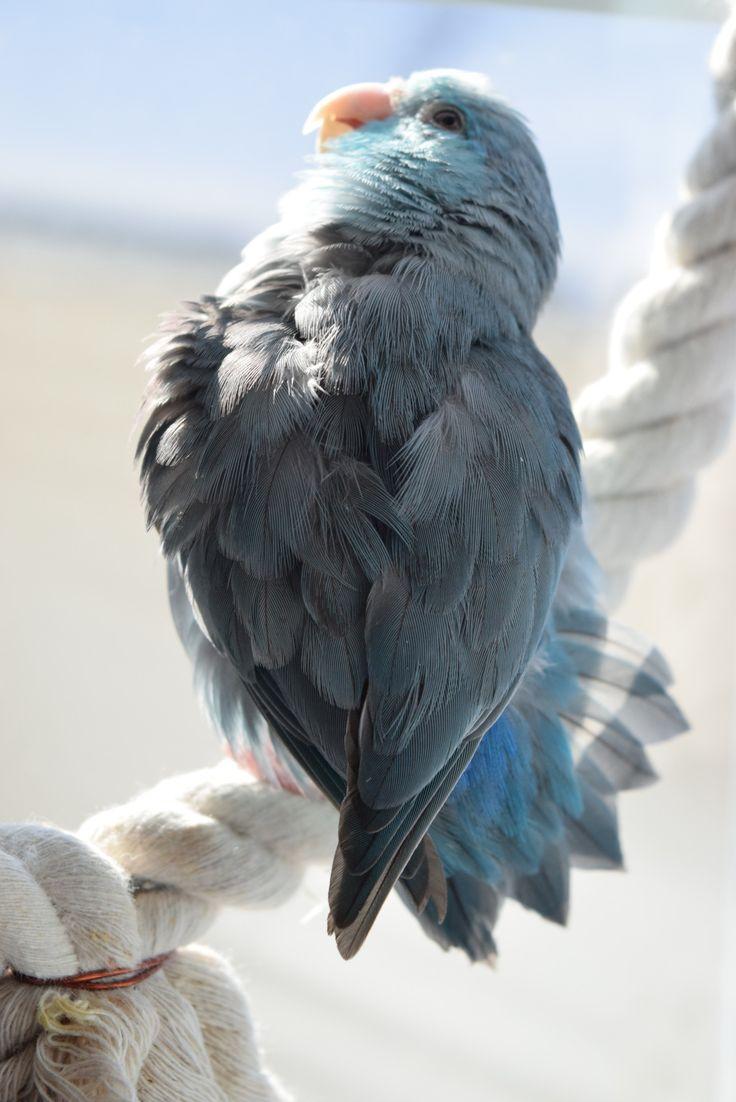 28 best Parrotlet Passion images on Pinterest   Pet birds, Parrots ...