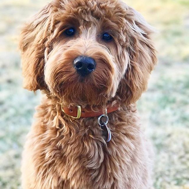 Happy National Puppy Day @opaldoodle !!  Love your new hair cut btw! - - - - #puppylove #mydogismyfamily #redminigoldendoodle #goldendoodle #coppercanyondoodles #ilovemydogs #thebestdog #doodleparty #ilovemydog #thebestdogs #doodlelove #doodleswag #puppykits #ilovemygoldendoodle #minigoldendoodle #puppykit #doodlesrock #doodlesrule #ilovemydog