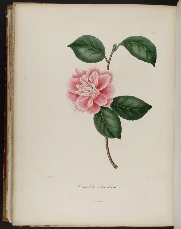 Image of Illustration of Camellia Sweetiana