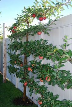 Gala apple tree sporting 40+ beautiful apples in only its 2nd year! Planted along with a fuji - both semi-dwarf. •••••• https://igardendaily.com #espalier #EspalierFruitTrees