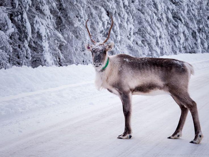 Reindeer sightings are not too rare in Lapland - Visiting Finland in Winter: Top 15 Winter Activities in Finland