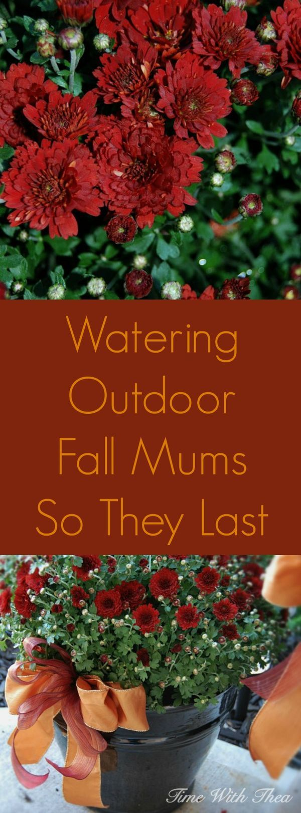It is easy keep your outdoor Fall Mums healthy and extend their blooming time with this clever watering tip! / timewiththea.com