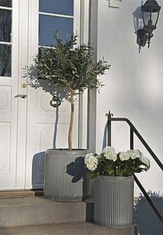 Olive tree, must have