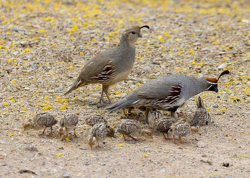 Gambel's Quail kids via flickr Doris Evans WHEN MOM IS ON THE MOVE AFTER CHICKS HAVE HATCHED, THEY RUN  AFTER HER + THE GROUND LOOKS LIKE IT IS MOVING.  IT'S QUITE A SIGHT.