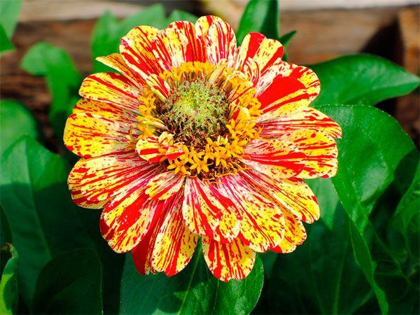 Zínia - 15 flores que suportam o clima carioca