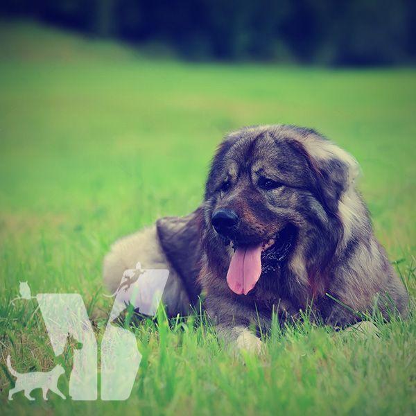 Kafkas Çoban Köpeği bir sürü koruma köpeğidir özellikle sürüye sahip…