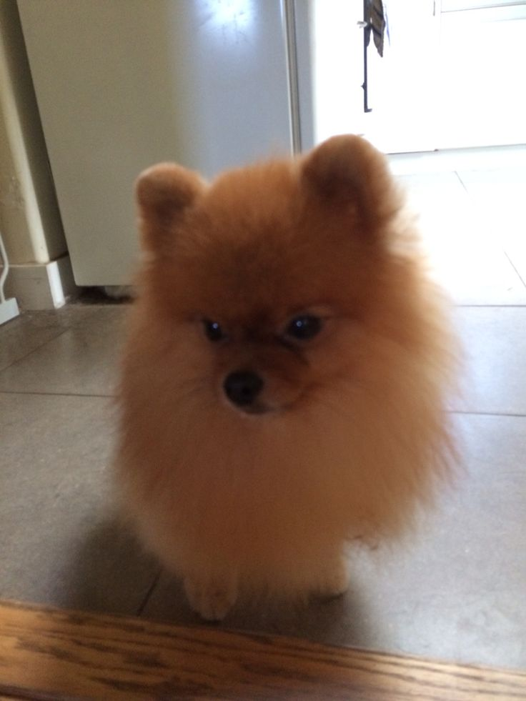 Grooming Your Pom – Which is Right For You?