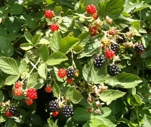 red blackberries turning ripe
